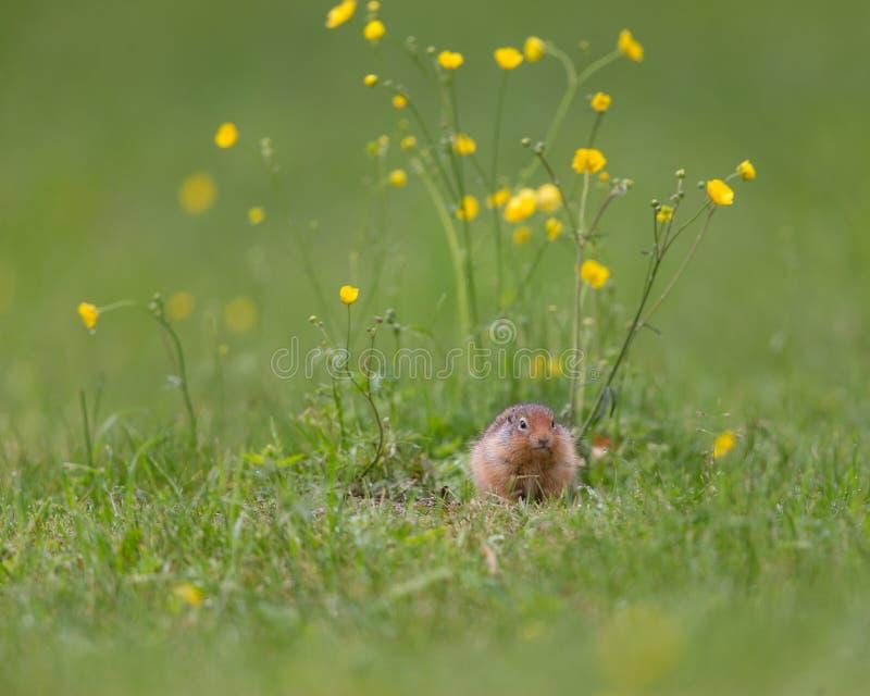 Samotna wiewiórka i kwiaty fotografia stock