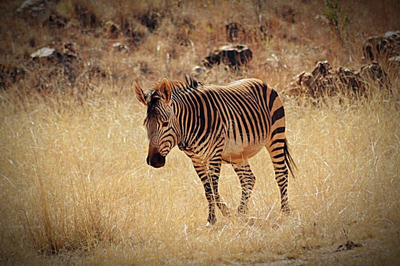 Samotna zebra zdjęcie royalty free