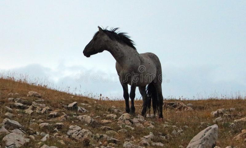 Samotnego Błękitnego Dereszowatego ogiera dziki koń na Sykes grani przy półmrokiem w Pryor gór Dzikiego konia pasmie w Montana us zdjęcie stock