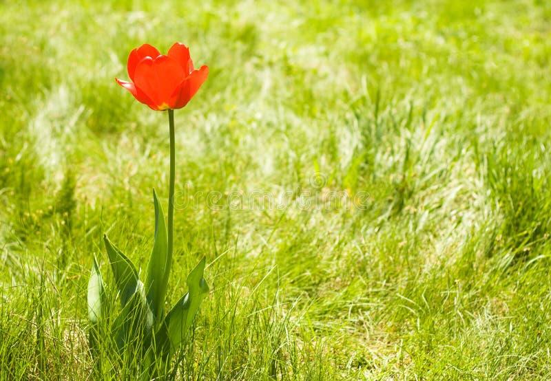 samotnego odbitkowego kwiatu plenerowy astronautyczny tulipan obrazy royalty free