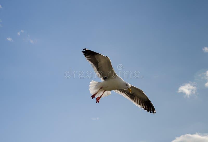 Samotnego seagull latający koszt stały przy lokalną plażą w Kalifornia obraz stock