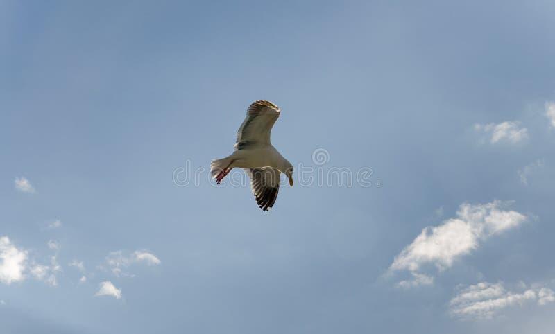 Samotnego seagull latający koszt stały przy lokalną plażą w Kalifornia fotografia royalty free