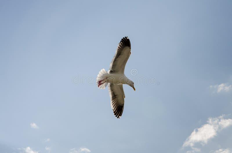 Samotnego seagull latający koszt stały przy lokalną plażą w Kalifornia zdjęcia stock