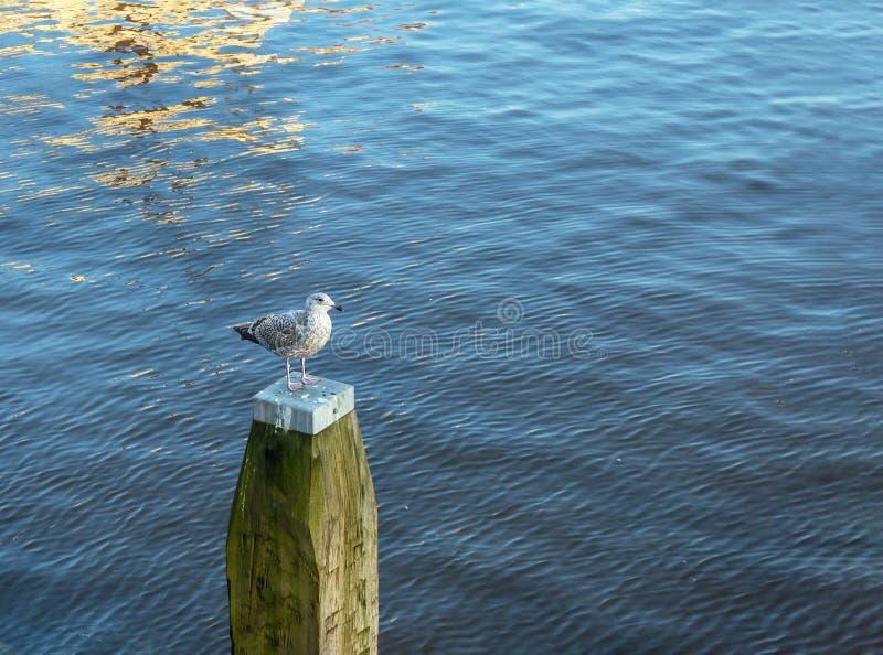 Samotności seagull biali stojaki na drewnianym promieniu w wodzie obrazy royalty free