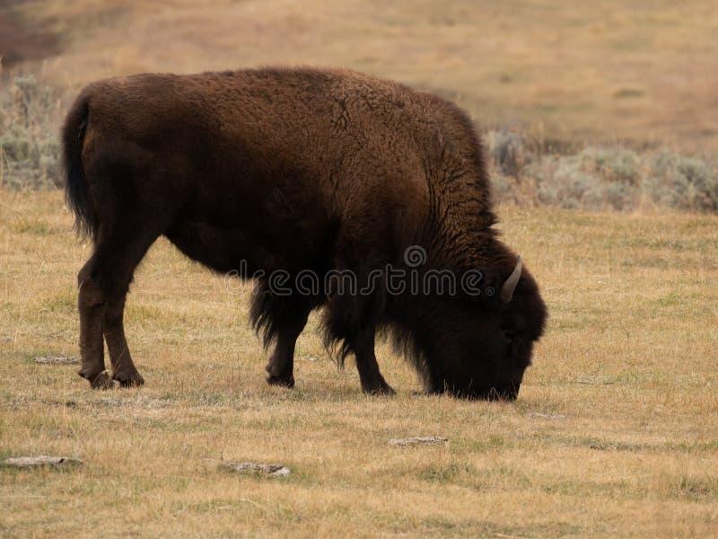 Samotny żubra pasanie na Wysuszonej trawie obrazy stock