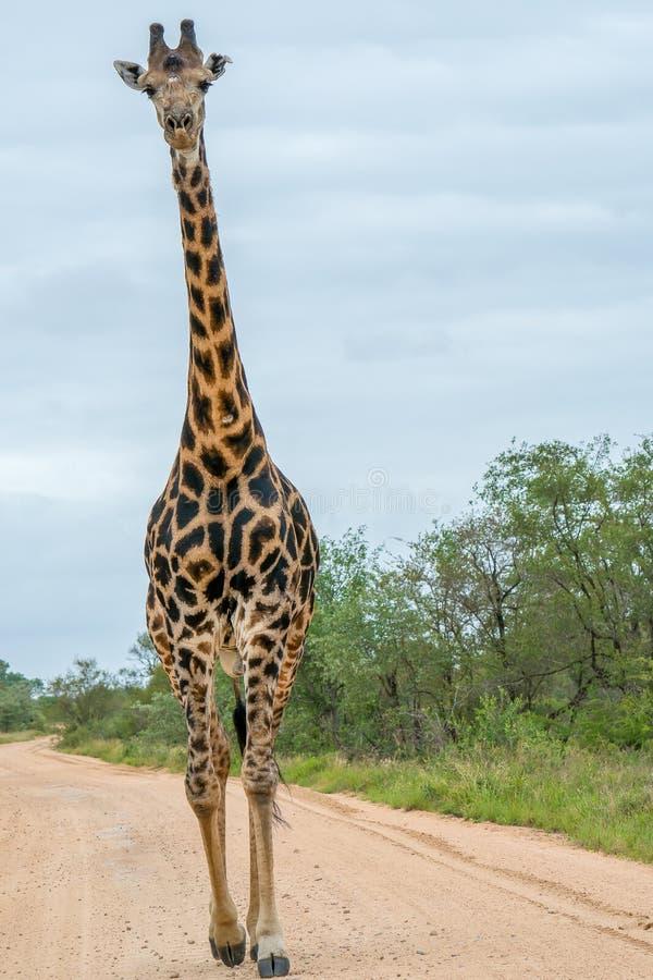 Samotny żyrafa byka odprowadzenie w drodze obraz stock