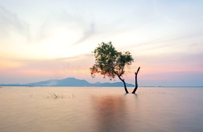 Samotny żywy drzewo jest w powodzi jezioro zdjęcie stock