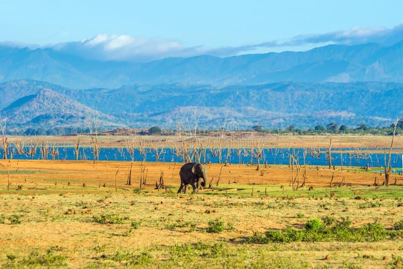 Samotny azjatykciego słonia odprowadzenie w Udawalawe natinal parku zdjęcia stock