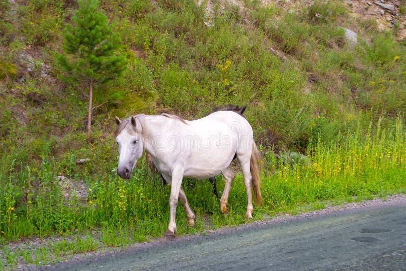 Samotny biały barwiony koń bez comberu i uzdy obraz royalty free