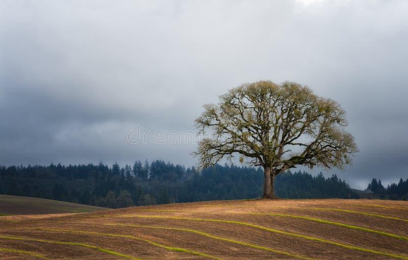 Samotny Biały Dębowy drzewo w polu zdjęcie royalty free