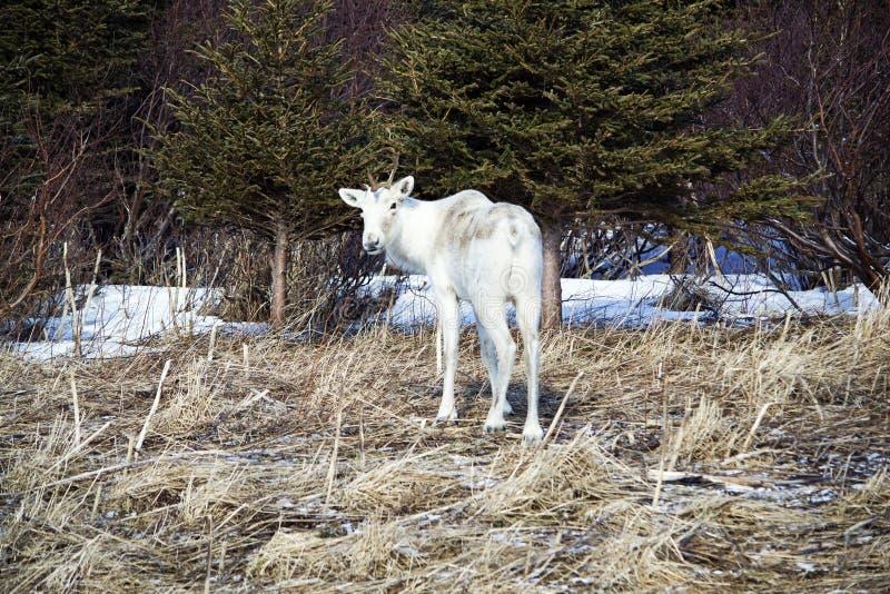 Samotny Caribou w Gros Morne parku obraz royalty free