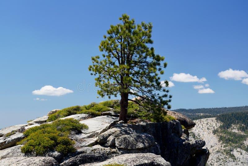 Samotny Conifer, Taft punkt, Yosemite, Kalifornia, usa obrazy stock