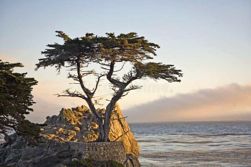 Samotny cyprysowy drzewo w Kalifornia fotografia stock