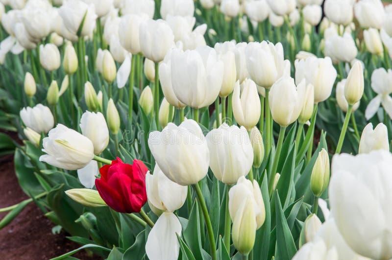 Samotny czerwony tulipan zdjęcia stock