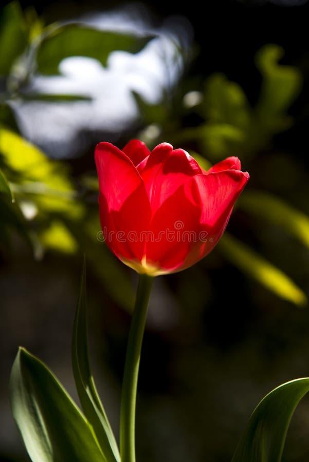 Samotny czerwony tulipan w greenery ogród zdjęcie stock