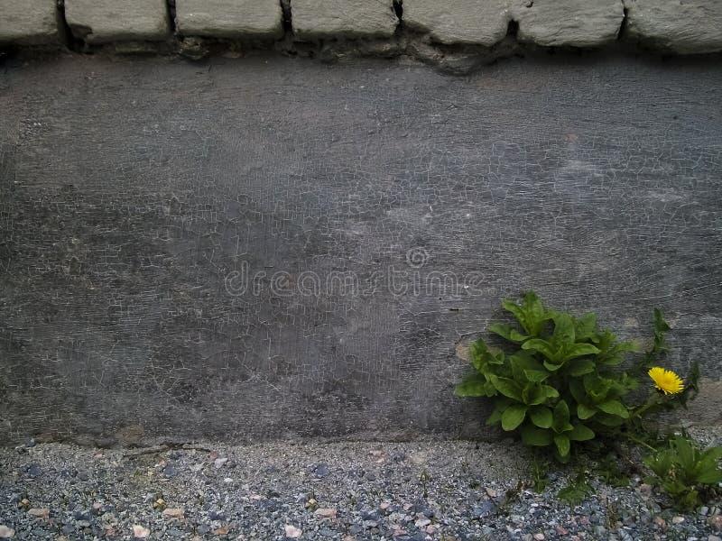 Samotny dandelion obok ściany zdjęcie stock