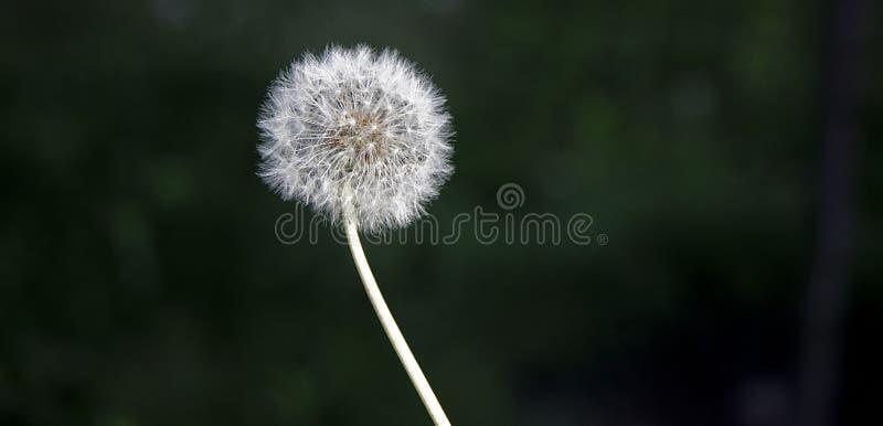 Samotny dandelion w polu fotografia stock