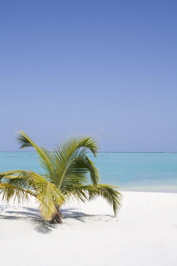 samotny drzewko palmowe zdjęcia stock