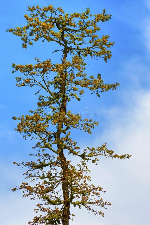Samotny drzewo i chmury fotografia stock