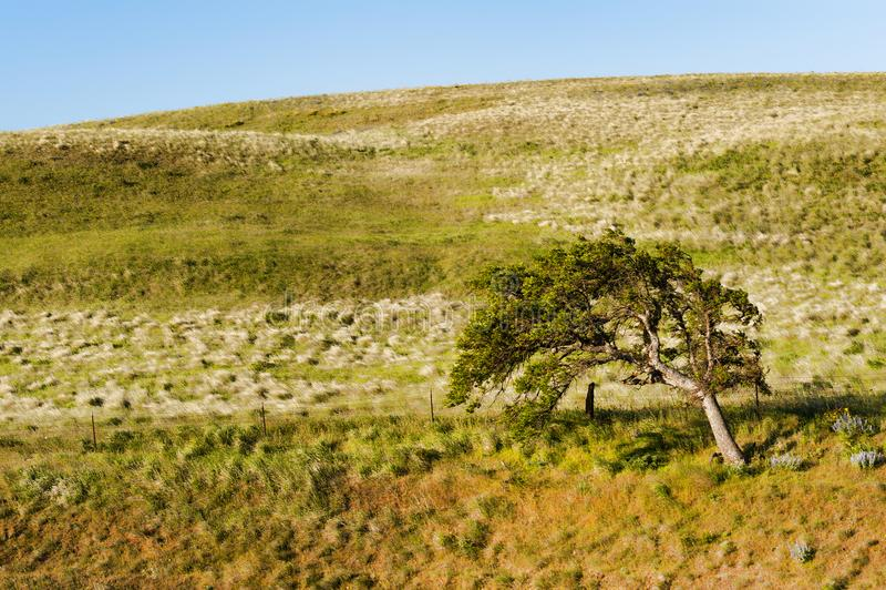Samotny drzewo na zboczu w Kolumbia rzeki wąwozie obrazy stock