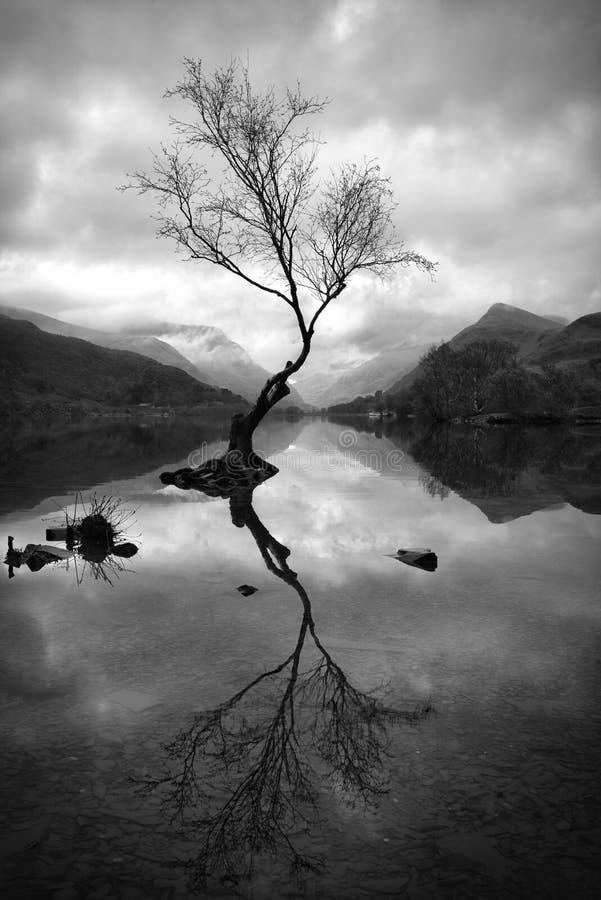 Samotny drzewo Przy Llyn Padarn fotografia royalty free
