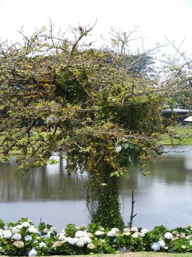 Samotny drzewo przy Poas w Alajuela Costa Rica obraz royalty free