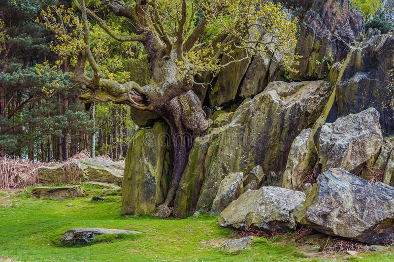 Samotny drzewo Rozszczepia głazy w połówce obraz royalty free