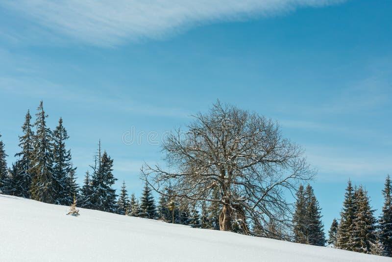 Samotny duży drzewo na zima plateau wzgórza śnieżnym halnym skłonie zdjęcia royalty free