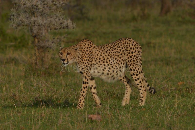 Samotny gepard na równinach Afryka zdjęcie stock