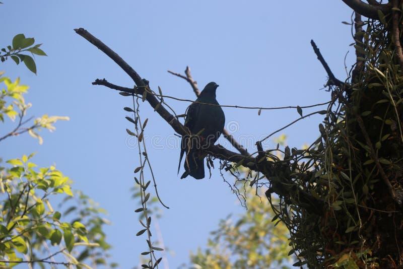 Samotny gołąb, ciemniejszy cień, czekający w gałęzi drzewa niebieskiego nieba fotografia stock