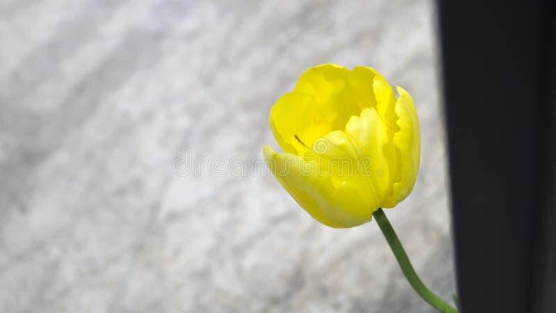 Samotny jaskrawy żółty tulipan na tle szarość asfalt zdjęcia royalty free