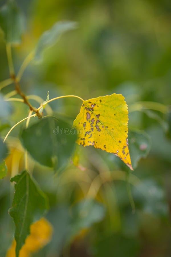 Samotny jesienny liść na gałęzi drzewa, widok boczny selektywny fokusu fotografia stock