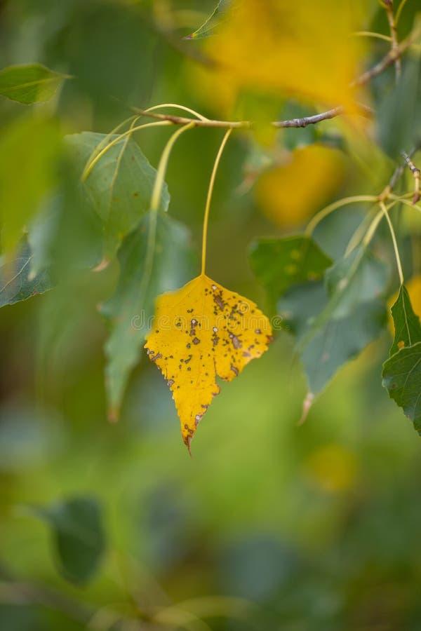 Samotny jesienny liść na gałęzi drzewa, widok boczny selektywny fokusu zdjęcia royalty free