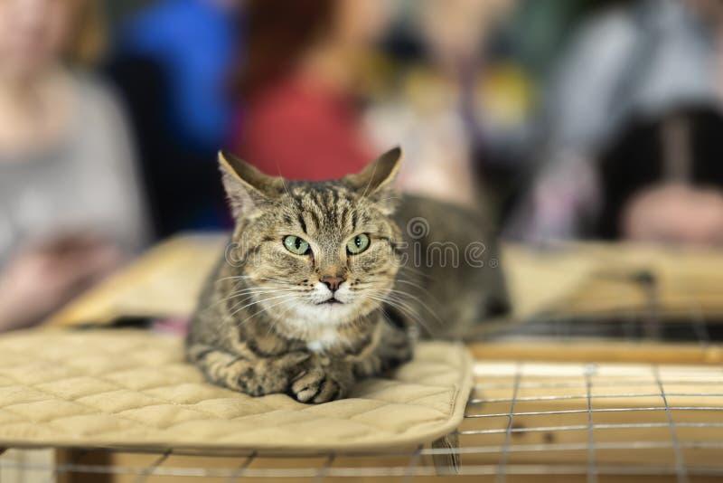 Samotny kot z powa?nym spojrzeniem, k?ama na klatce w schronieniu czeka? na dom, dla someone adoptowa? on Poj?cie obrazy stock