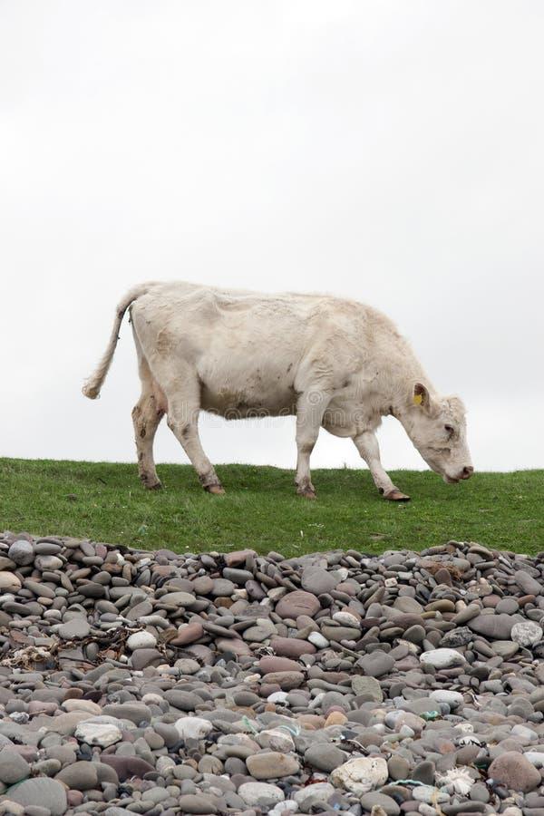Samotny krowy karmienie na nabrzeżnej zielonej trawie zdjęcie stock