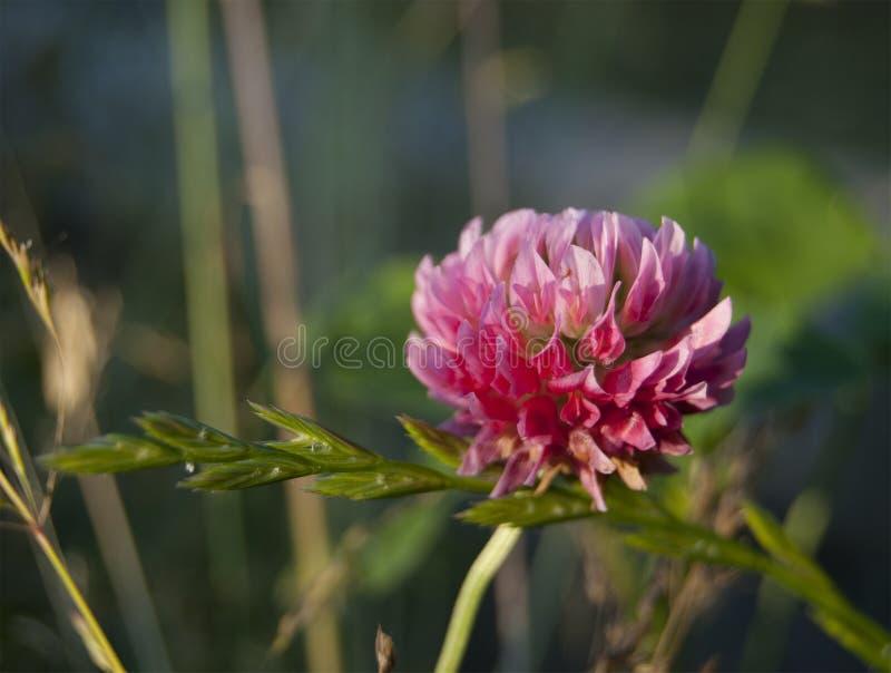 Samotny kwiat różowa koniczyna obraz royalty free