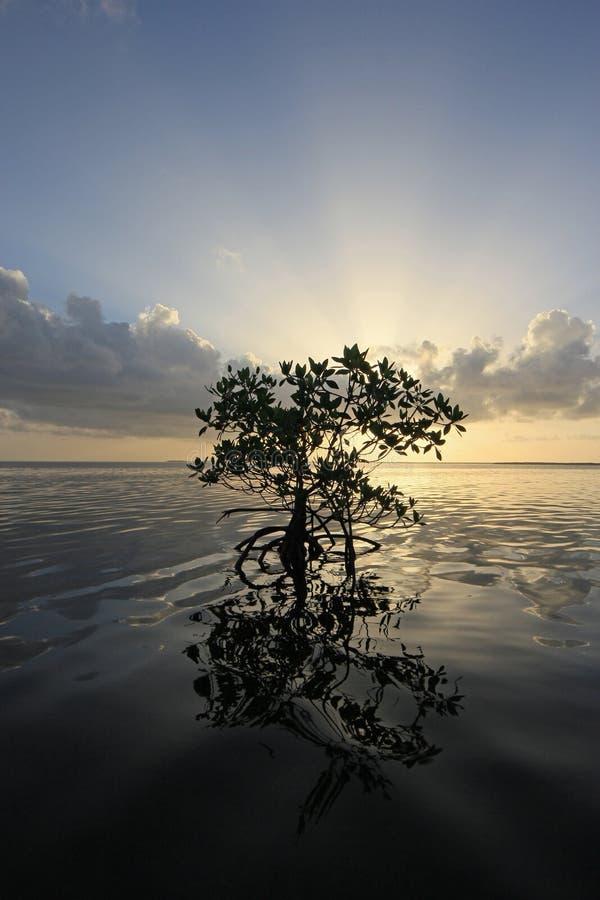 Samotny mangrowe przy wschód słońca w karta dźwięku, Floryda zdjęcia stock