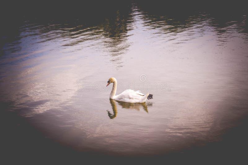 Samotny niemy łabędź na wodzie zdjęcie stock