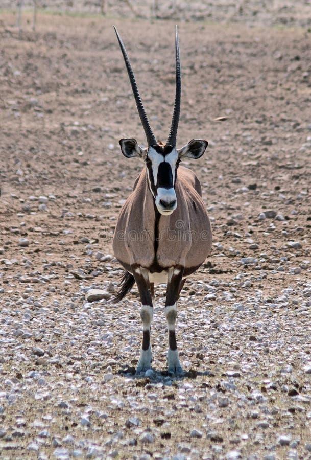 Download Samotny Oryx W Pustyni W Etosha Parku Narodowym, Namibia Zdjęcie Stock - Obraz złożonej z park, samotny: 106916568