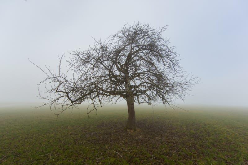 Samotny owocowy drzewo w zimie w mgły pozyci na obszarze trawiastym obraz royalty free