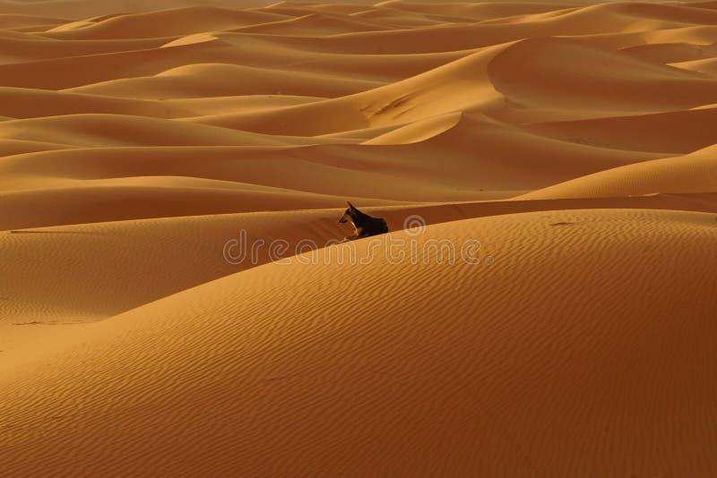 Samotny pies w erg pustyni w Maroko fotografia royalty free