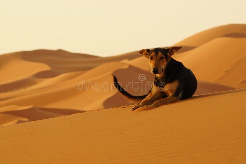 Samotny pies w erg pustyni w Maroko zdjęcia stock