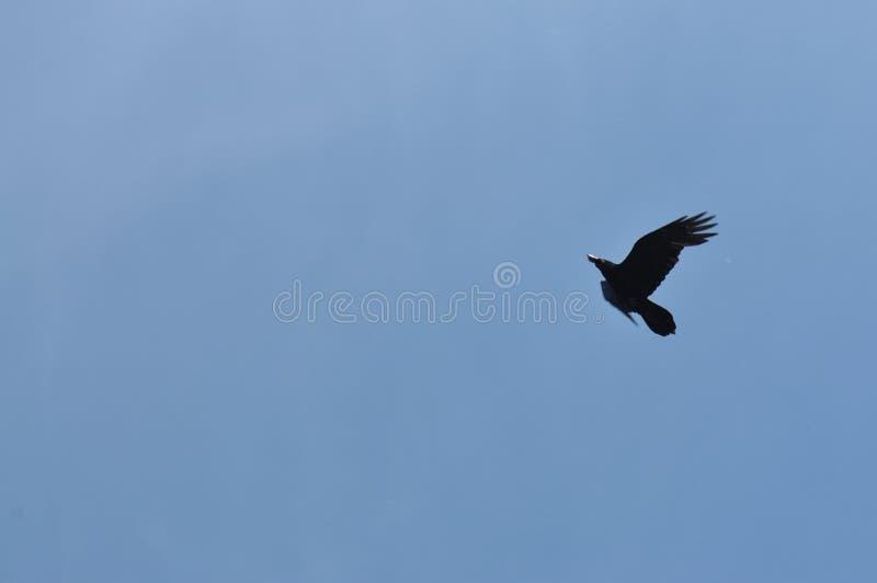 Samotny ptasi wznosić się w jasnego niebieskiego nieba światła tło z sylwetką ptasi latanie w górę wolności przestrzeni dynamiki fotografia royalty free
