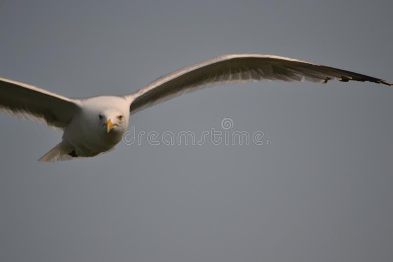 Samotny Seagull fotografia royalty free