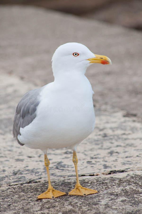 Samotny seagull, frontowy widok, patrzeje sidewards obrazy royalty free
