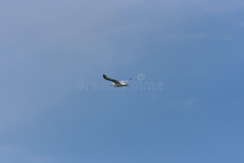 Samotny Seagull na Jasnym niebieskim niebie obraz stock