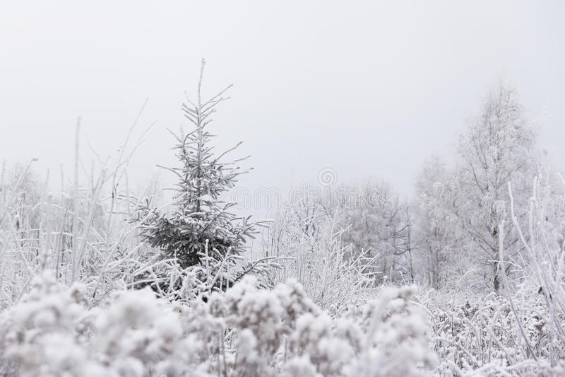 Samotny sosnowy drzewo w zamarzniętej łące (Bożenarodzeniowy) Zima w Lithuani zdjęcie stock