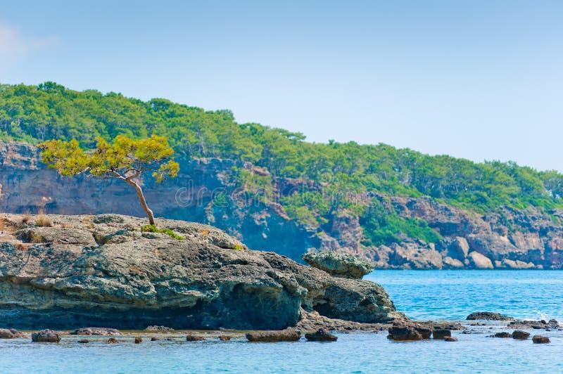 Samotny sosny dorośnięcie na rockowym pobliskim morzu zdjęcie stock