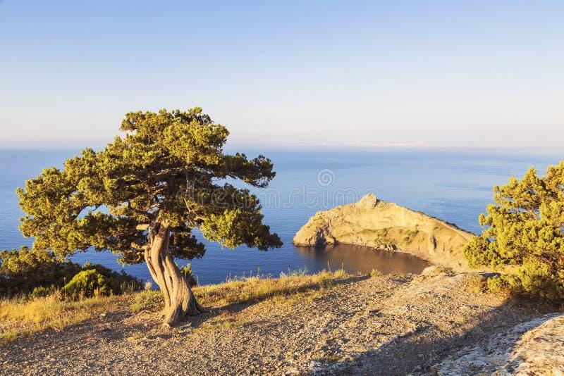 Samotny sosny dorośnięcie na skłonie góra w Crimea zdjęcia royalty free