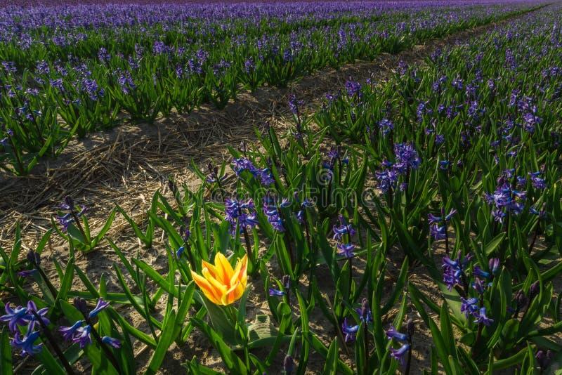 samotny tulipan zdjęcie royalty free